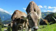 cows-203460_1920